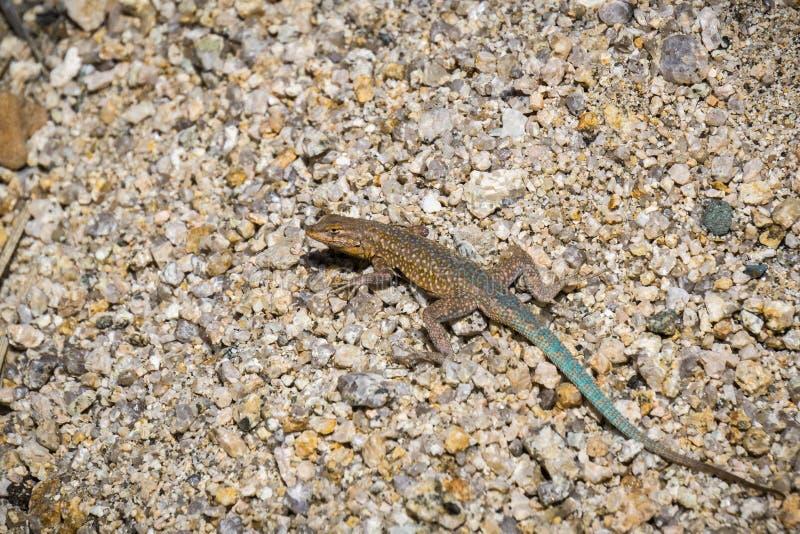 关闭共同的边的blotched蜥蜴Uta stansburiana,约书亚树国家公园,加利福尼亚 库存照片