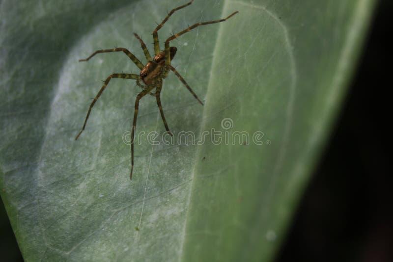 关闭准备好一只可怕,危险的蜘蛛攻击 免版税库存照片