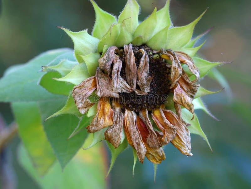 关闭凋枯的干向日葵头 免版税图库摄影