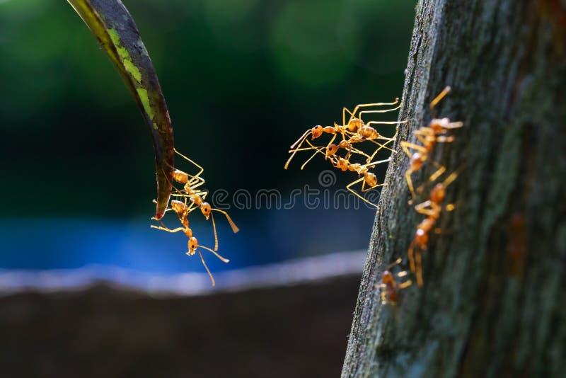 关闭到达的蚂蚁 库存照片