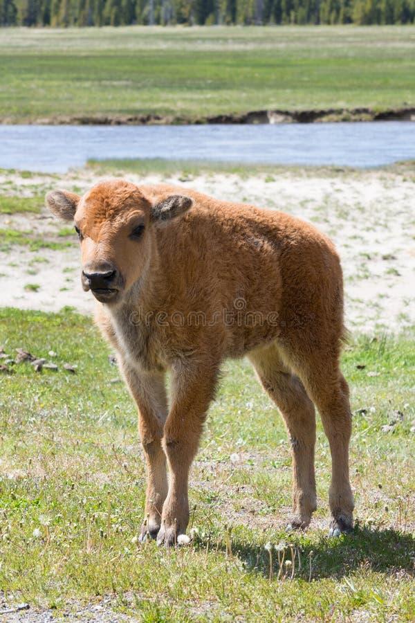 关闭北美野牛小牛 库存照片
