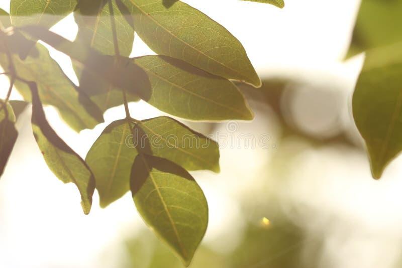 关闭发光的绿色叶子 免版税图库摄影