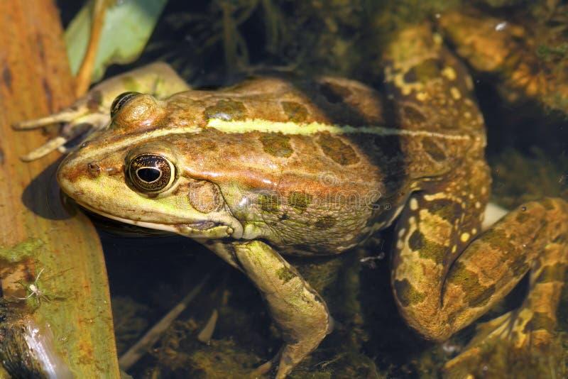 关闭可食的青蛙 库存照片