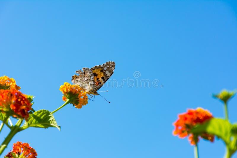 关闭吃从花的橙色蝴蝶花粉 免版税库存照片