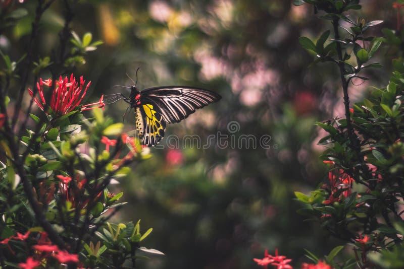 关闭吃在一朵红色花的黄色被盯梢的蝴蝶花粉 免版税库存照片