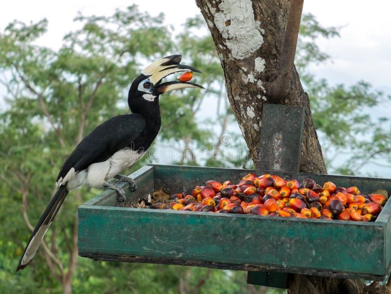 关闭吃在绿色篮子的唯一狂放的东方染色犀鸟鸟Anthracoceros albirostris画象红色狂放的果子 库存图片