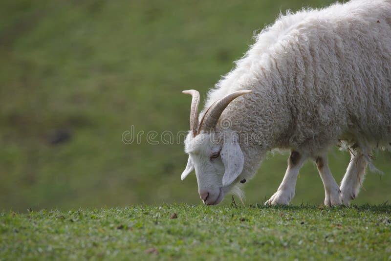关闭吃草山开士米的山羊 免版税库存照片