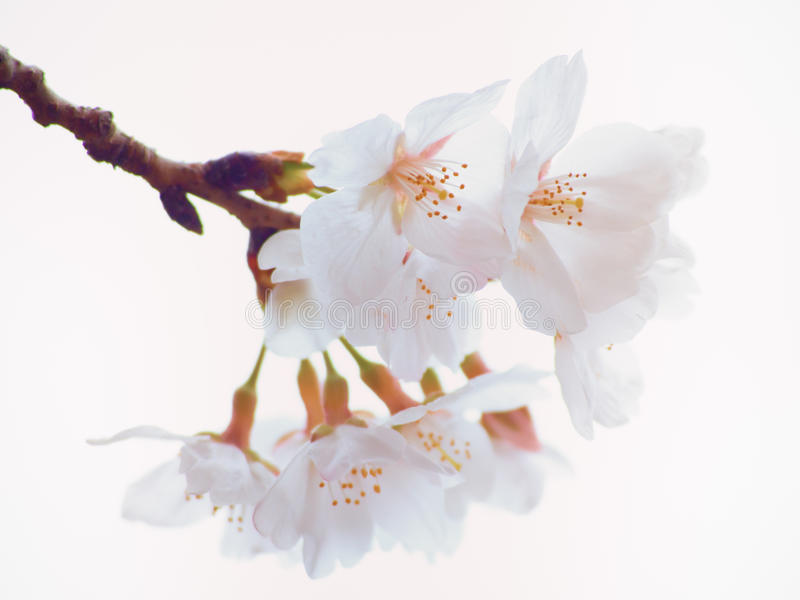 关闭吉野在盛开的樱桃树开花 图库摄影