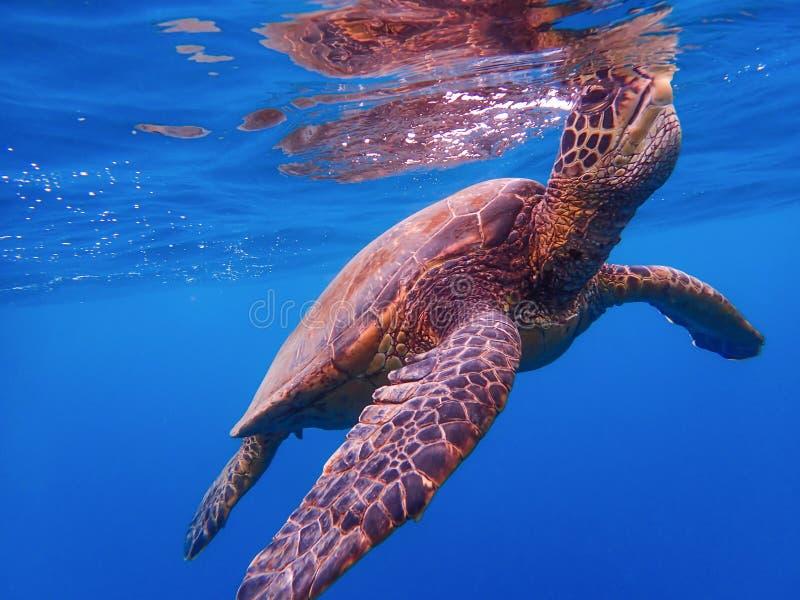 关闭呼吸在水表面的绿浪乌龟  免版税图库摄影