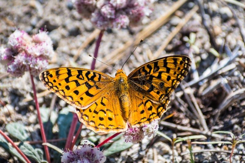 关闭和平的贝母(Boloria epithore)蝴蝶坐桃红色那个种子pussypaws (Cistanthe monosperma) 免版税库存图片