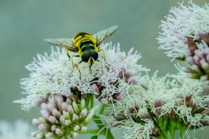 关闭哺养在白花的花蜜的黑和黄色Hoverfly在庭院里 库存照片