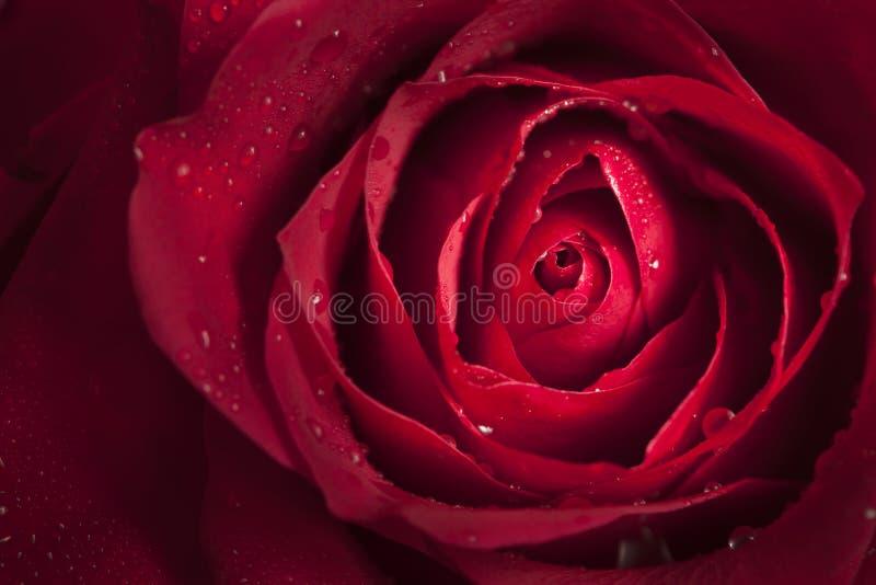 关闭唯一红色玫瑰 免版税库存照片