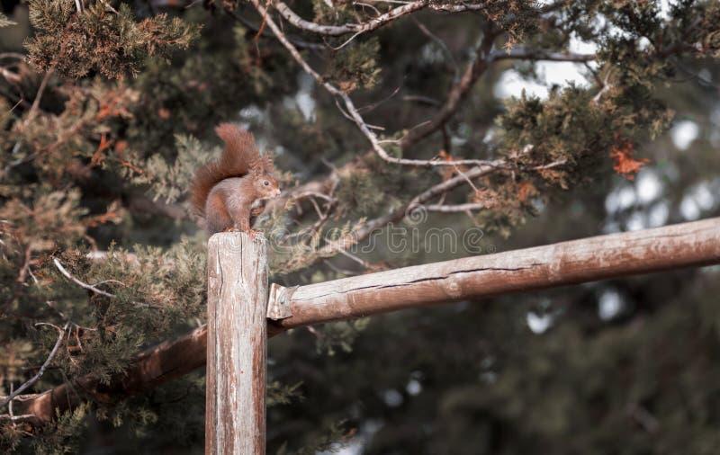 关闭在一根木杆的红松鼠攀登在一个自然公园 库存图片