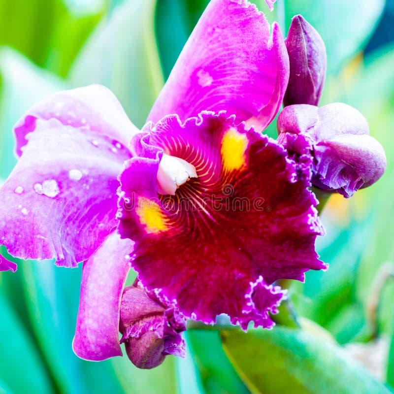 关闭在五颜六色的Cattleya兰花的射击 免版税库存图片