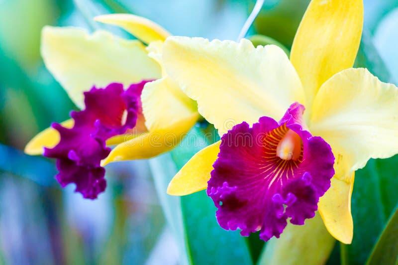 关闭在五颜六色的Cattleya兰花的射击 免版税库存照片