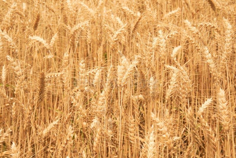 关闭在农场的黄色稻大麦米 库存照片