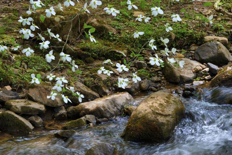 关闭在冰砾的开花的山茱萸分支在小河 库存照片
