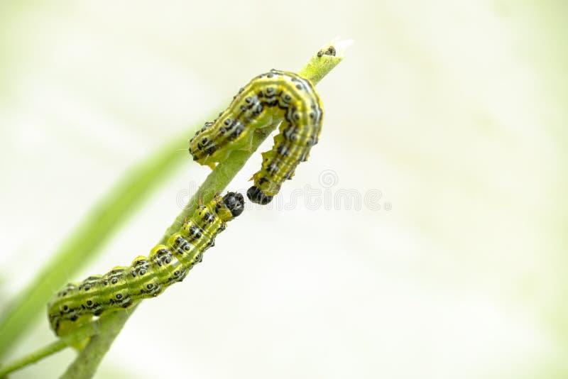 关闭在分支的两条毛虫,箱子树飞蛾Cydalima perspectalis的幼虫 库存照片