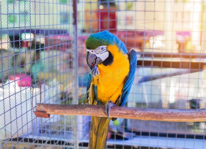 关闭在分支的蓝色和黄色金刚鹦鹉或蓝色和金金刚鹦鹉鸟常设栖息处 免版税库存图片
