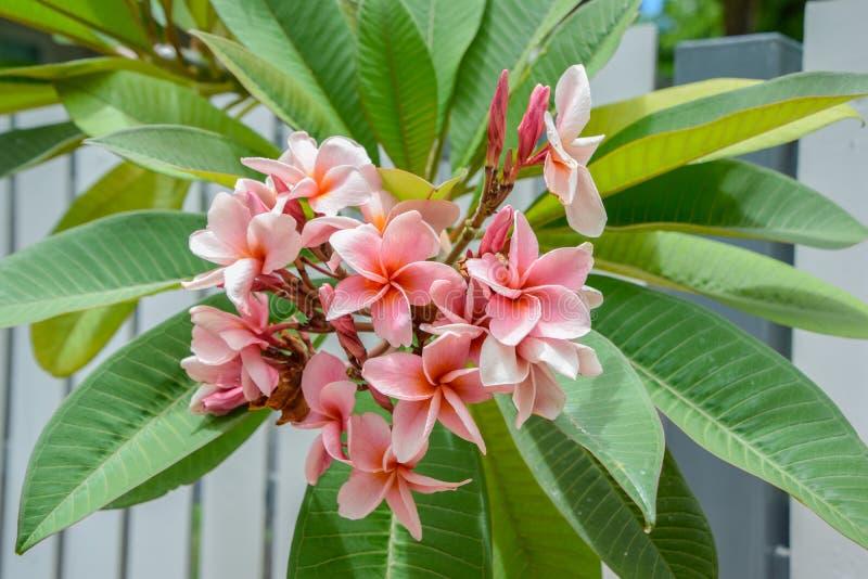 关闭在分支,美好的自然背景的美丽的桃红色羽毛花:羽毛、Franipani,塔状树或寺庙 免版税库存照片