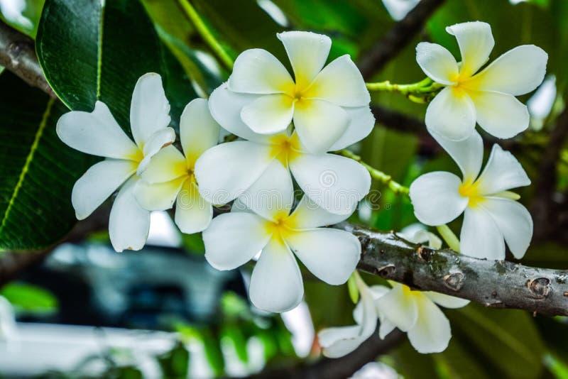 关闭在分支,美好的自然背景的美丽的白色羽毛花:羽毛、Franipani,塔状树或寺庙 库存图片