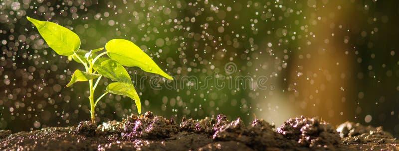 关闭在土壤的年轻树与水下落作用 增长的种子和种植概念,与copyspace的横幅 库存图片