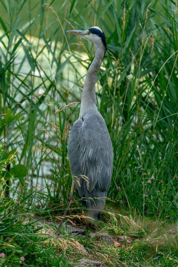 关闭在它的一只灰色苍鹭是自然生态环境 库存图片