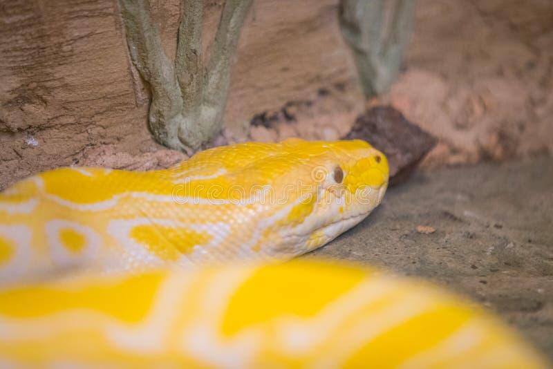 关闭在岩石卷曲的黄色蛇 库存图片