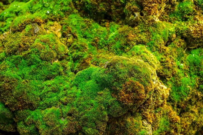 关闭在岩石的绿色青苔在绿叶背景的庭院里 图库摄影