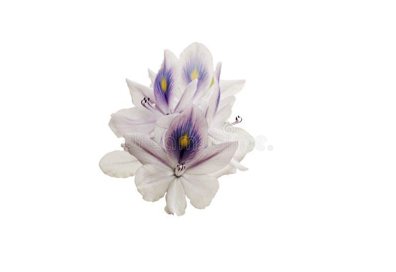关闭在开花的紫色凤眼兰花在白色背景,隔绝与裁减路线 库存图片