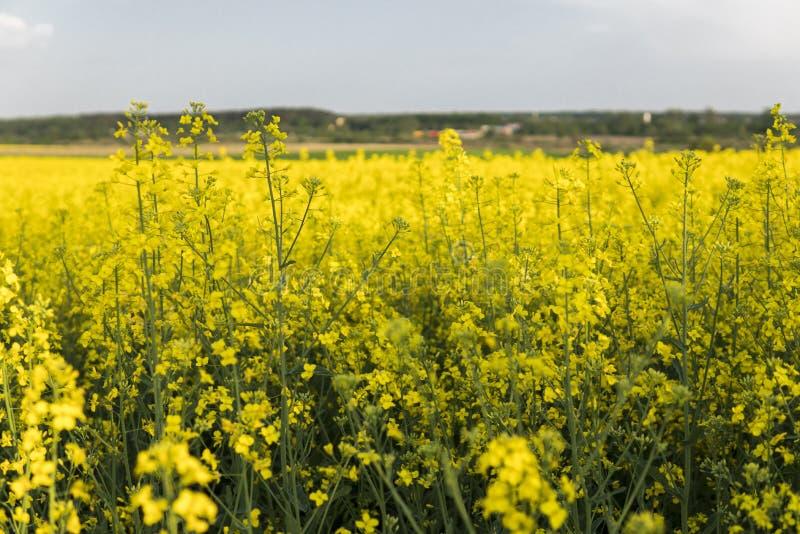 关闭在强奸植物花不尽的油菜籽领域的 黄色油菜籽领域和蓝天与云彩在晴朗 库存照片