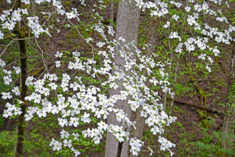 关闭在春天的绿叶的中山茱萸绽放 图库摄影