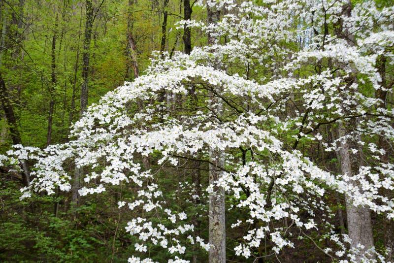 关闭在春天的绿叶的中山茱萸绽放 免版税库存图片