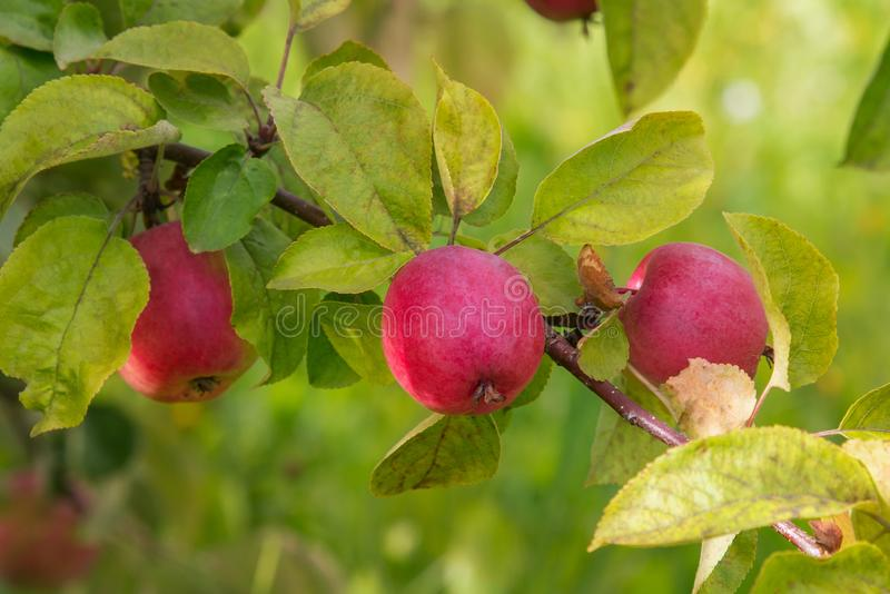 关闭在树枝的成熟红色苹果在秋天 免版税库存图片