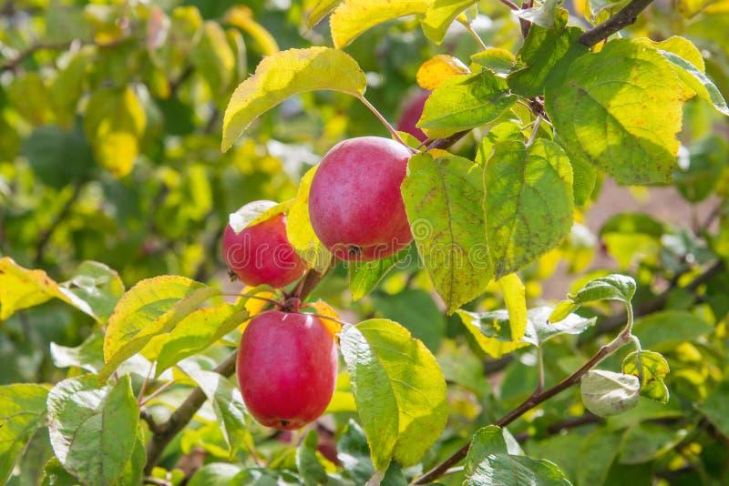 关闭在树枝的成熟红色苹果在秋天 库存图片