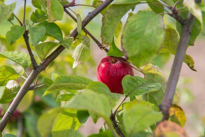 关闭在树枝的成熟红色苹果在秋天 库存照片