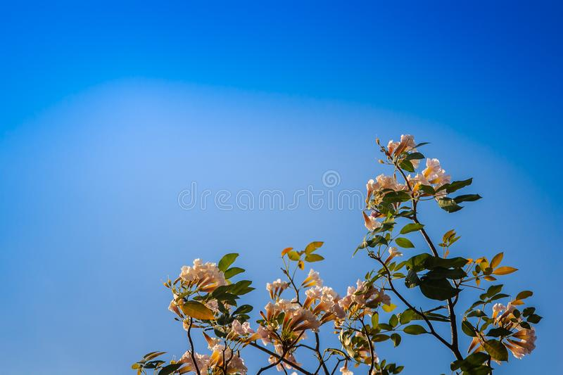 关闭在树的桃红色喇叭(Tabebuia rosea)花有蓝天背景 Tabebuia rosea是共同性的一棵桃红色花树 免版税库存照片