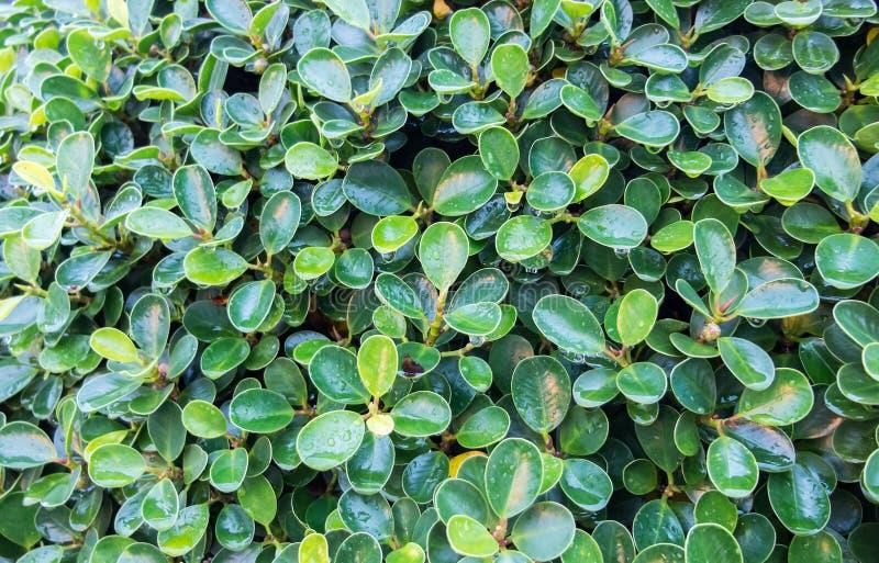 关闭在树的绿色叶子在有阳光树荫的森林里并且在当自然背景使用以后的下雨浇灌下落 图库摄影