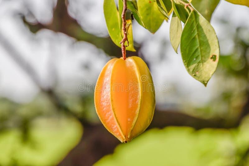 关闭在树,被弄脏的自然背景-泰国果子的金星果 库存图片