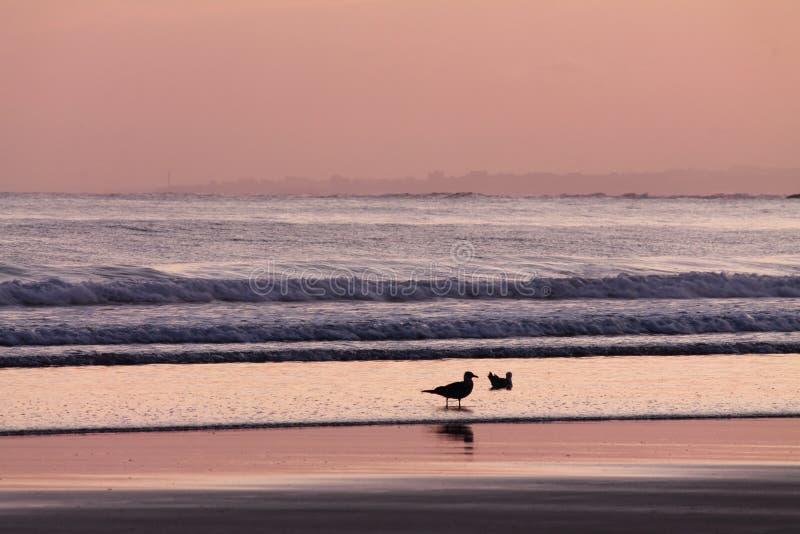 关闭在桃红色紫罗兰色日出夏天天空的海鸥在海滩大西洋 免版税库存图片