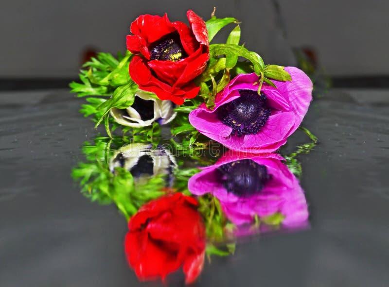 关闭在桌反射的开花的银莲花属-银莲花属coronaria上 库存图片