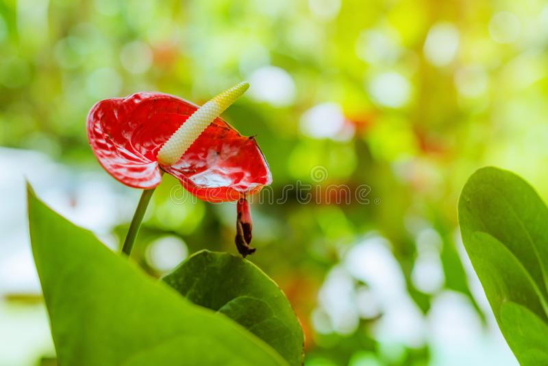 关闭在植物园安祖花andraeanum,天南星科的安祖花红色彩斑芋或男孩花猪尾安祖花或 库存图片