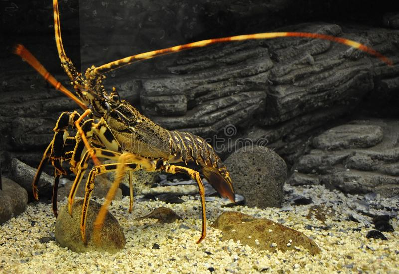 关闭在水族馆坦克的橙色龙虾从克利特