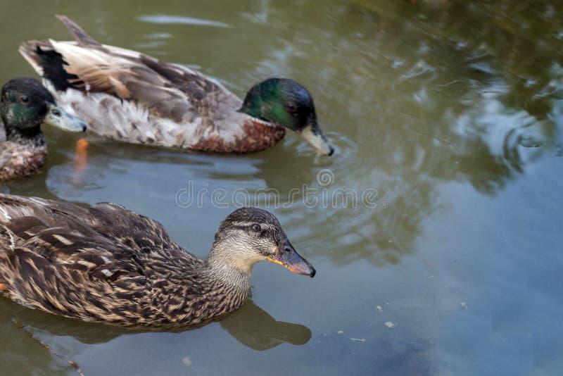关闭在池塘的小野鸭游泳 免版税库存照片