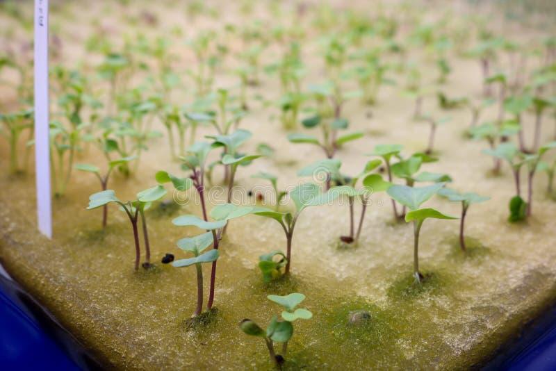 关闭在海绵的幼木无头甘蓝种子的 免版税库存图片