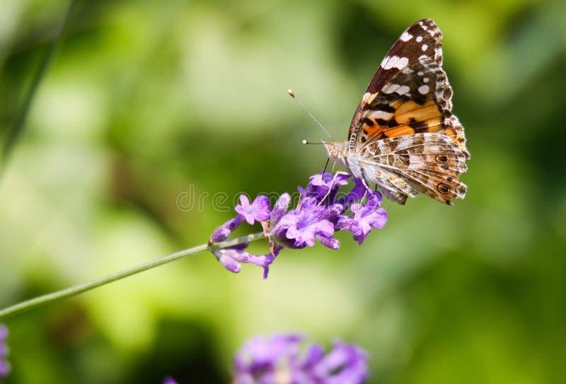 关闭在淡紫色淡紫色花的橙色和黑蝴蝶Nymphalis polychloros有被弄脏的绿色背景 免版税库存图片