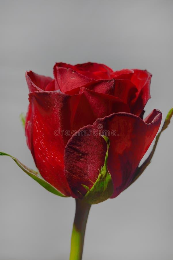 关闭在深灰背景的一朵红色玫瑰 库存照片