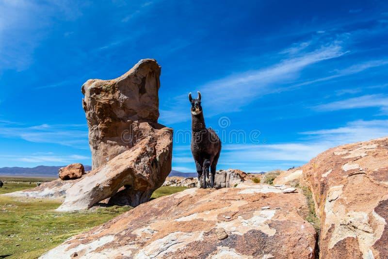 关闭在玻利维亚的安地斯平实高度吃草的牧群保留的逗人喜爱和滑稽的羊魄 免版税库存图片