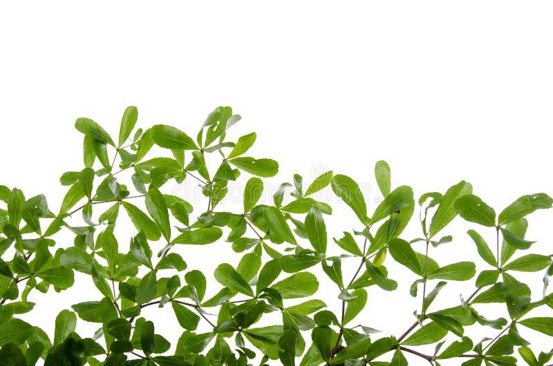 关闭在白色背景的绿色叶子 免版税库存照片