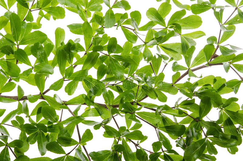 关闭在白色背景的绿色叶子 图库摄影